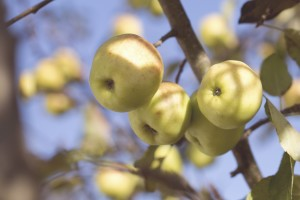 apple_tree_2