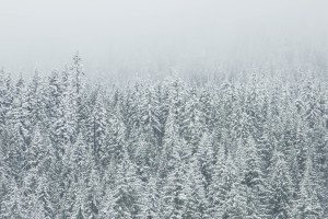 fir_trees_covered_in_snow_2